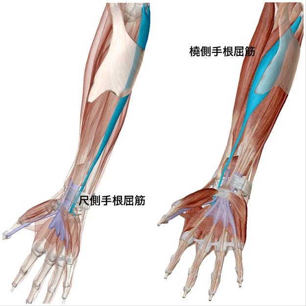 橈側手根屈筋と尺側手根屈筋