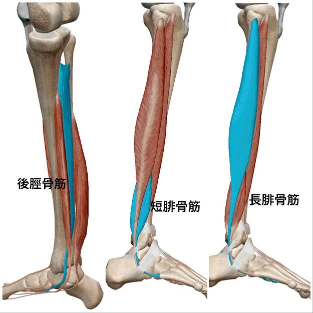後脛骨筋と長短腓骨筋を青で示しています