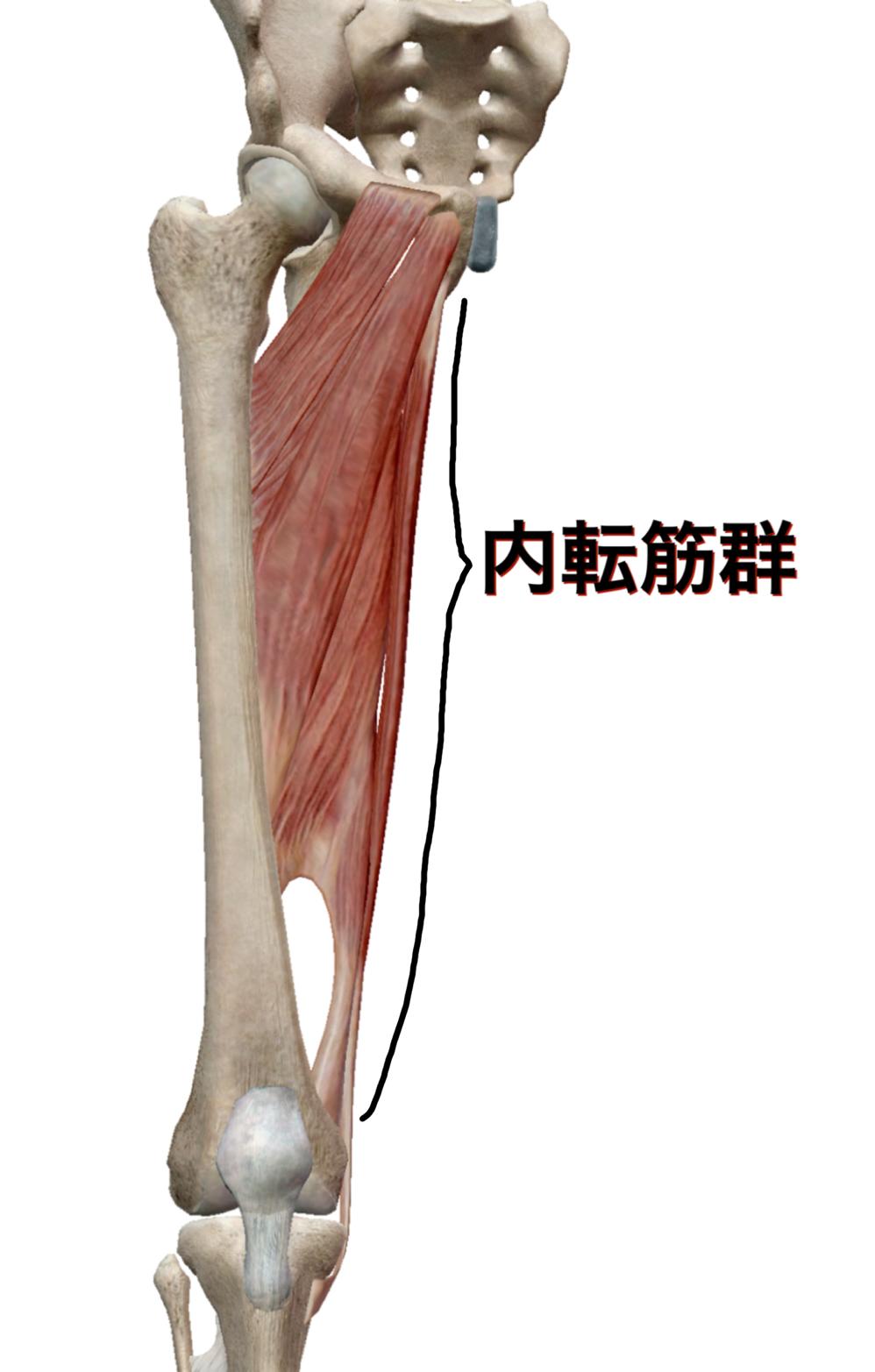 内転筋群の図