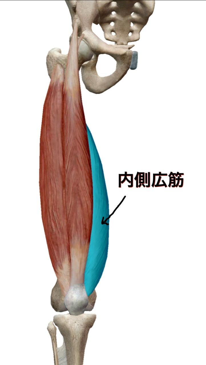 大腿四頭筋(内側広筋)の図